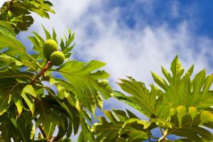 breadfruit-plant